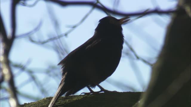 blackbird (turdus merula) sings in tree, scotland, uk - birdsong stock videos & royalty-free footage