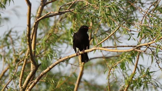 blackbird (turdus merula) - singing stock videos & royalty-free footage