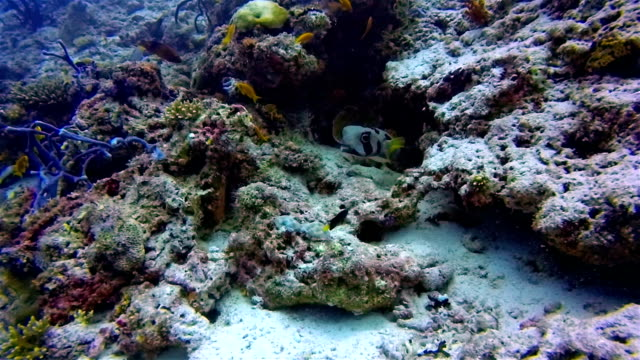 black-blotched porcupinefish on coral reef on the maldives - balloonfish stock videos and b-roll footage