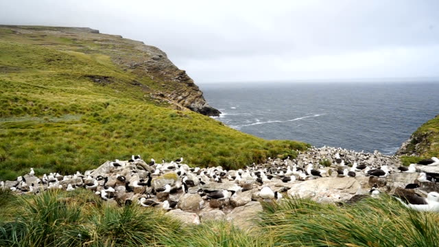 black-browed albatross and southern rockhopper penguins nest together on the cliffs of west point island in the falkland islands - albatross stock videos & royalty-free footage