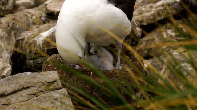black-browed albatross and southern rockhopper penguins nest together on the cliffs of west point island in the falkland islands - bird's nest stock videos & royalty-free footage