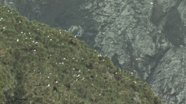 aerial, black-browed albatross (diomedea melanophris) rookery on cliff, south georgia island, falkland islands, british overseas territory - insel south georgia island stock-videos und b-roll-filmmaterial