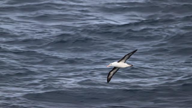 black-browed albatross skimming the waves of the southern ocean - albatross stock videos & royalty-free footage