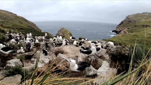 black-browed albetross - falkland islands - albatross stock videos & royalty-free footage