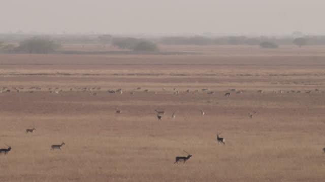 Blackbuck antelope (Antilope cervicapra) herd on grassland, Velavadar, India