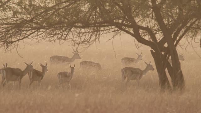 blackbuck antelope (antilope cervicapra) herd walk on grassland at dusk, velavadar, india - antelope stock videos & royalty-free footage
