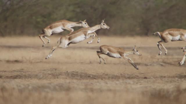 blackbuck antelope (antilope cervicapra) pronk on grassland, velavadar, india - antilope stock-videos und b-roll-filmmaterial