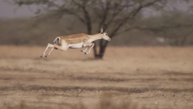 vídeos de stock, filmes e b-roll de blackbuck antelope (antilope cervicapra) pronks on grassland, velavadar, india - antílope mamífero ungulado
