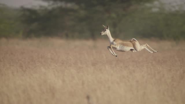 blackbuck antelope (antilope cervicapra) pronks on grassland, velavadar, india - antelope stock videos & royalty-free footage