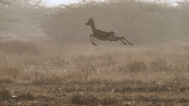 vídeos y material grabado en eventos de stock de blackbuck antelope (antilope cervicapra) pronks on grassland, velavadar, india - silvestre