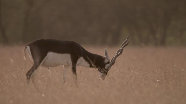 Blackbuck antelope (Antilope cervicapra) scent marks on grassland, Velavadar, India