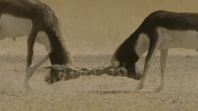 blackbuck stags fighting, india - 角のはえた点の映像素材/bロール