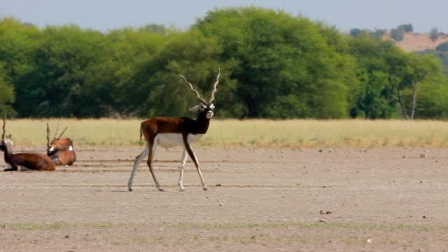 blackbuck - majestic stock videos & royalty-free footage