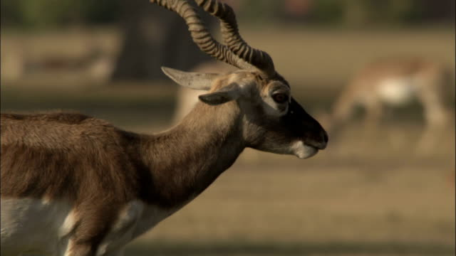 Blackbuck walks through parkland surrounding Tomb of Akbar the Great Available in HD.