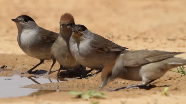 blackcap (sylvia atricapilla) 2 females and 2 males drink water from a waterpool  in the desert - warbler stock videos & royalty-free footage