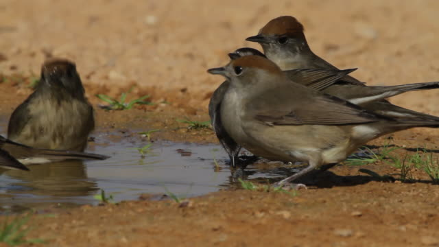 blackcap (sylvia atricapilla)- 5 drink and bathe in a desert water pool - warbler stock videos & royalty-free footage