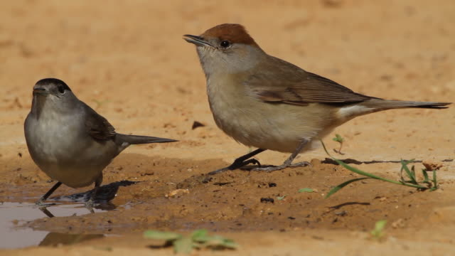 stockvideo's en b-roll-footage met blackcap (sylvia atricapilla)  female and  male drink water from a waterpool  in the desert - zanger vogel