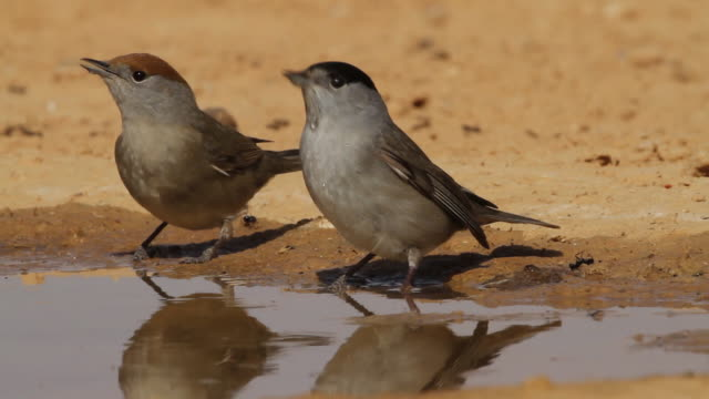 blackcap (sylvia atricapilla)  female and  male drink water from a waterpool  in the desert - songbird stock videos & royalty-free footage