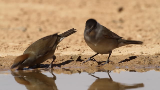 blackcap (sylvia atricapilla)  female and  male drink water from a waterpool  in the desert - warbler stock videos & royalty-free footage