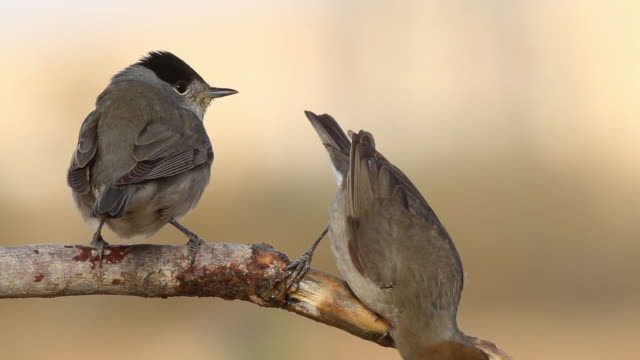 blackcap (sylvia atricapilla) female and male drink water on a branch - warbler stock videos & royalty-free footage