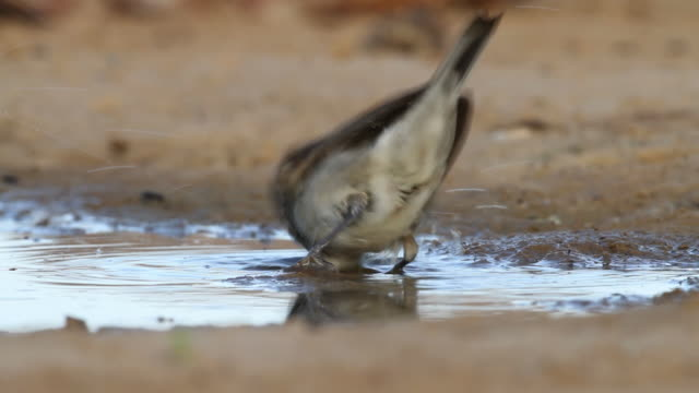 blackcap (sylvia atricapilla) female bathing in a waterpool  in the desert - warbler stock videos & royalty-free footage