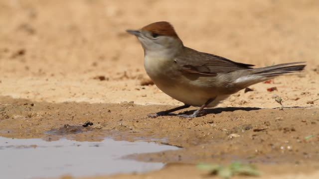 Blackcap (Sylvia atricapilla) female drink water from a waterpool  in the desert