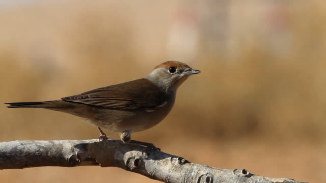 blackcap (sylvia atricapilla) female drink water on a branch - warbler stock videos & royalty-free footage