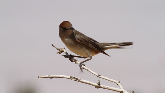 blackcap (sylvia atricapilla) female on a branch, flying off - warbler stock videos & royalty-free footage