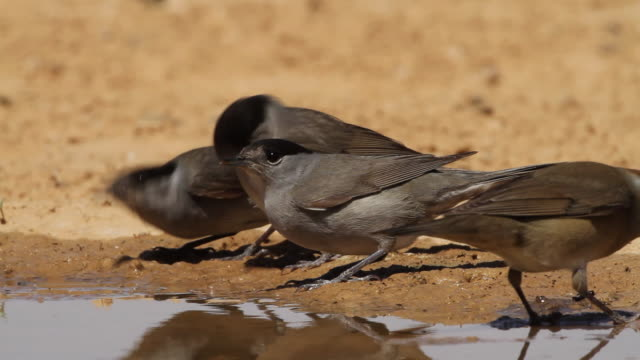 blackcap (sylvia atricapilla)group of birds drink water from a waterpool  in the desert - warbler stock videos & royalty-free footage