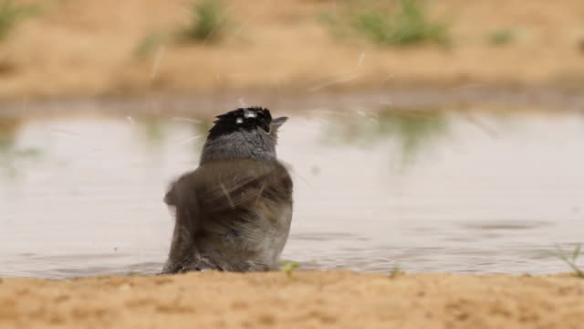 blackcap (sylvia atricapilla) male bathing in a waterpool  in the desert - warbler stock videos & royalty-free footage