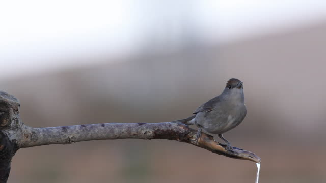 blackcap (sylvia atricapilla) male drink water on a branch - warbler stock videos & royalty-free footage