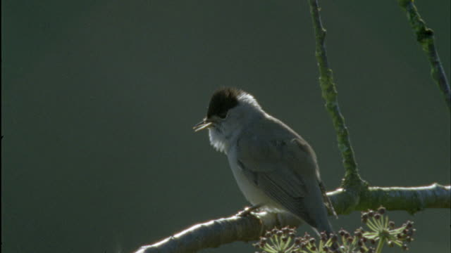 Blackcap (Sylvia atricapilla) sings during dawn chorus, Forest of Dean, UK