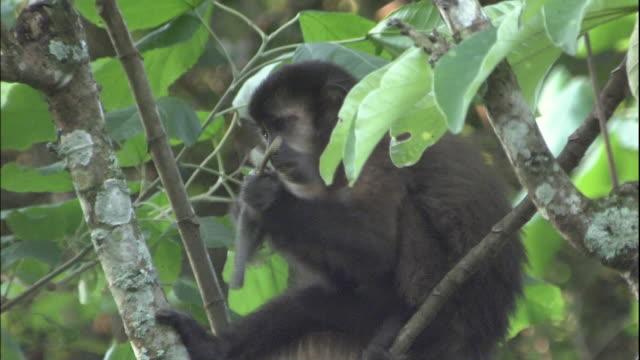 black-capped capuchin climbs through tree whilst eating fruit, iguazu national park, border of brazil and argentina - よじ登る点の映像素材/bロール