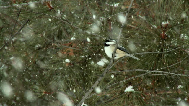 WS LA Black-capped Chickadee (Poecile atricapillus) on pine tree in snow falling / Whitney, Ontario, Canada