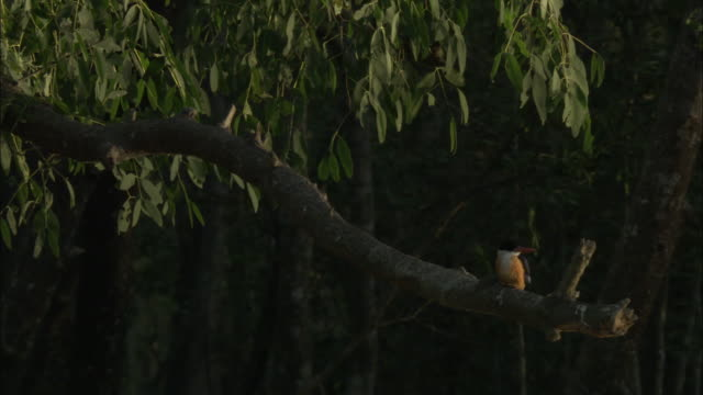 a black-capped kingfisher perches on a branch. available in hd. - perching stock videos & royalty-free footage