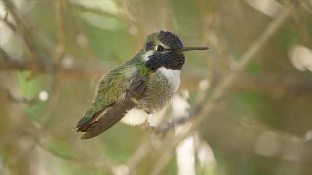 a black-chinned hummingbird perching on a branch shows fast breathing in slow motion in the sonoran desert, saguaro national park, arizona - sonoran desert stock videos & royalty-free footage