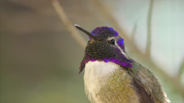 a black-chinned hummingbird perching on a branch sticks its tongue out in the sonoran desert, saguaro national park, arizona - kolibri stock-videos und b-roll-filmmaterial