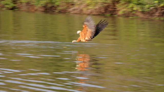 Black-collared Hawk diving on a fish, Rio Claro, Pantanal, Brazil