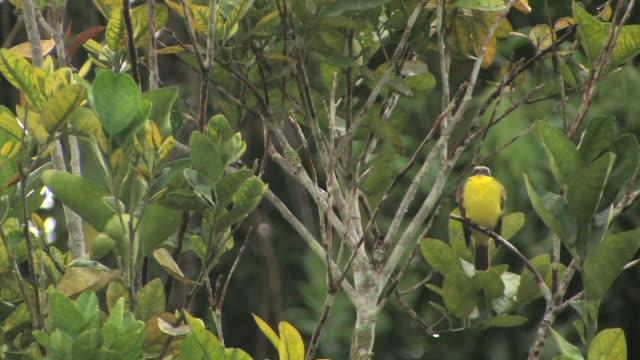 ws black-crested warbler (basileuterus nigrocristatus) perching in tropical bush, then flies away in manu national park / peru - tropical bush stock videos & royalty-free footage