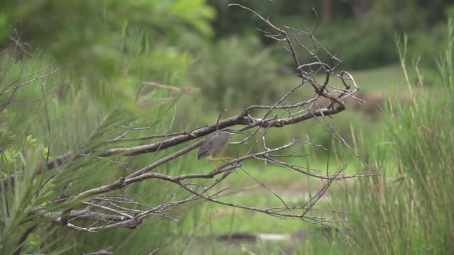 black-crowned night heron takes off from branch in slow motion, kruger national park, south africa - provinz mpumalanga stock-videos und b-roll-filmmaterial