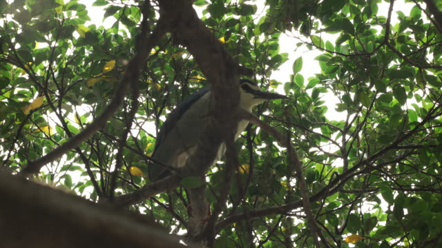black-crowned night heron up a tree. - dappled light stock videos and b-roll footage