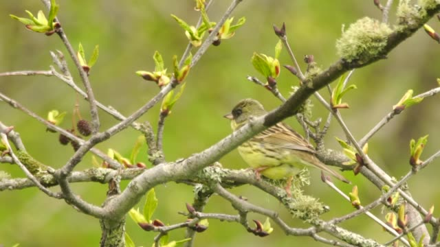 black-faced bunting (emberiza spodocephala) kuril islands - songbird stock videos & royalty-free footage
