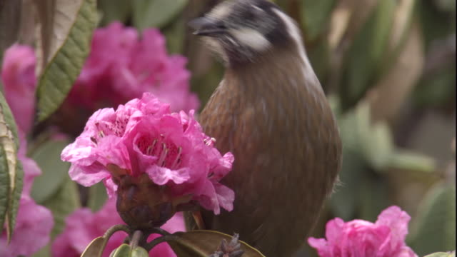 black-faced laughing thrush feeds on rhododendron blooms, himalayas, nepal available in hd - rhododendron stock videos and b-roll footage