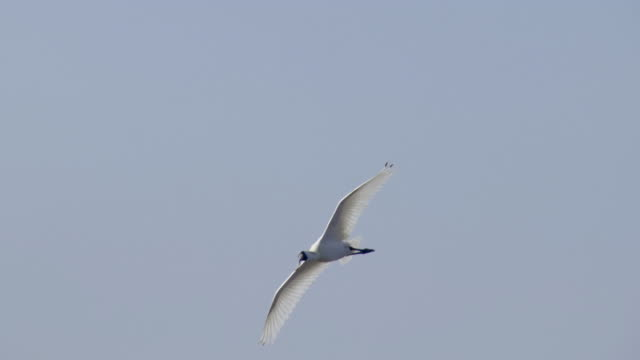 a blackfaced spoonbill flying over kuji-do island / dmz, south korea - 海洋性の鳥点の映像素材/bロール
