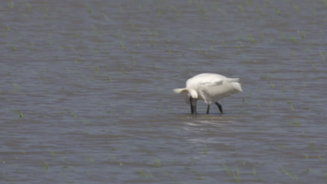 Blackfaced Spoonbill (endangered species) searching its prey in the water