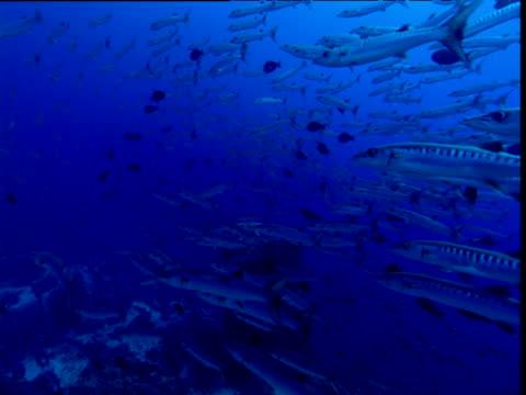 Blackfin barracuda shoal swims past camera