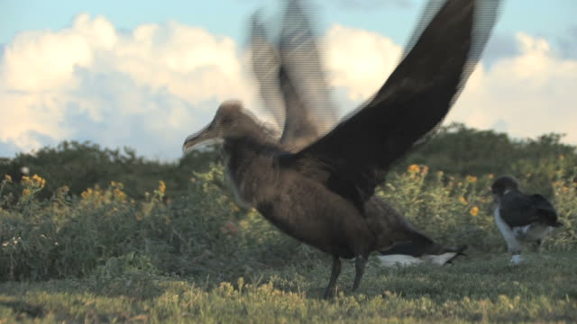 Black-footed albatross (Phoebastria nigripes) chick nearly moulted through to adult plummage, exercises wings. Midway Island. Pacific
