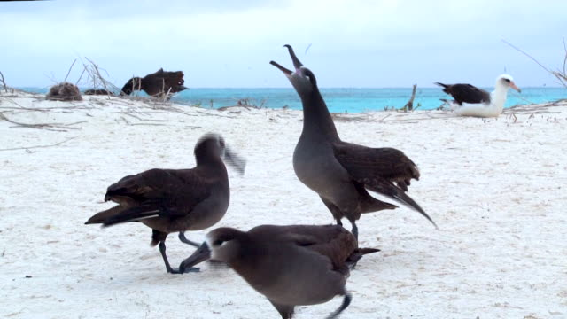 black-footed albatross on the sand dunes in courtship display, midway atoll - audio disponibile sulla versione digitale video stock e b–roll