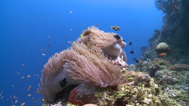 Blackfooted Anemonefish in Sea Anemone on reef wall, Meemu Atoll, The Maldives