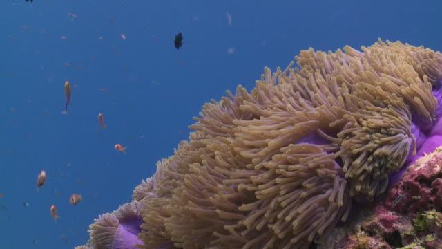 Blackfooted Anemonefish (Amphiprion nigripes) in Sea Anemone with school of Scalefin Anthias (Pseudanthias squamipinnis) and Threespot Dascyllus (Dascyllus trimaculatus), Meemu Atoll, The Maldives